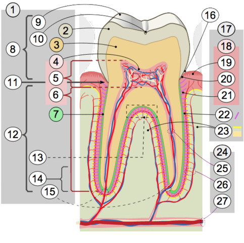 File:Cross Secion of Tooth.png