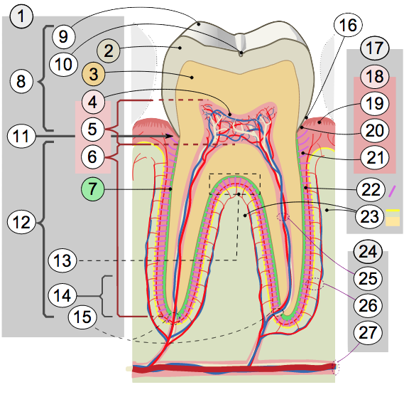 Cross Secion of Tooth