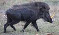 Rhino Pig.png