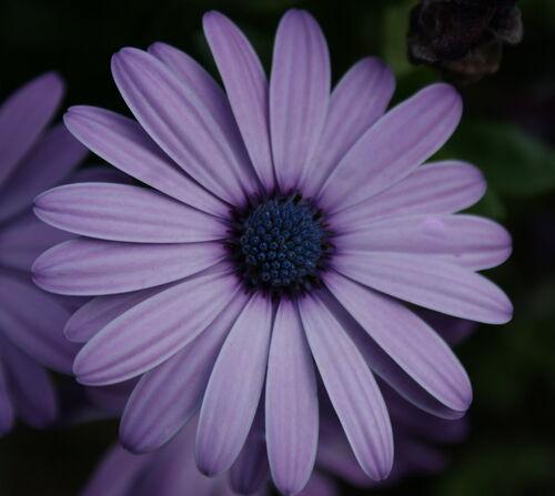 Purple daisy by Akelamoonstone
