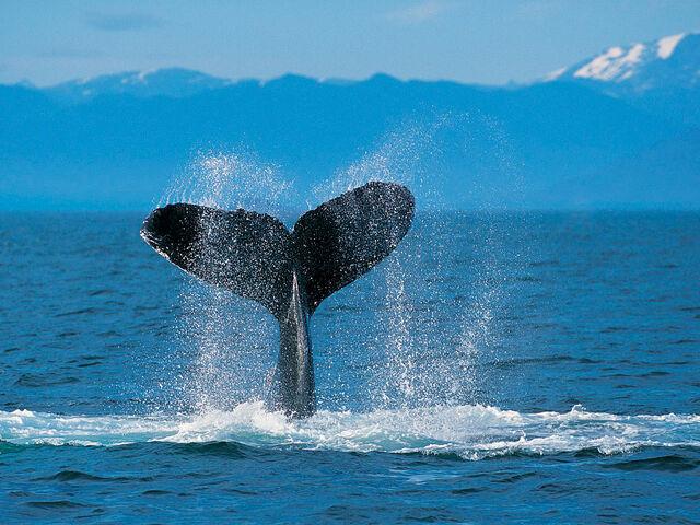Datei:Humpback Whale.jpg