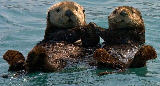 Datei:Otter Händchen.jpg