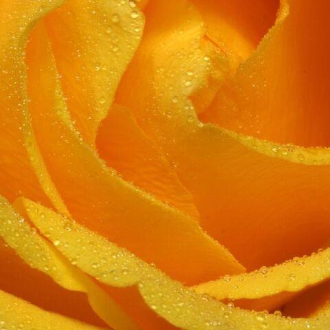 Datei:Yellowrose-Q.jpg