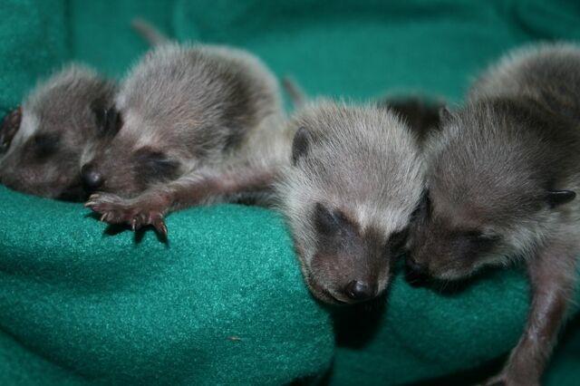 File:Baby-raccoons3-09-2-1024x682-1-.jpg