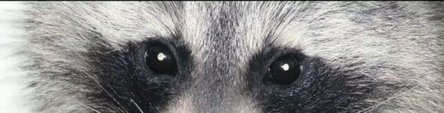 File:Raccoon 2.jpg