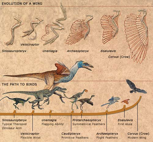 an overview of the relation between the birds and dinosaurs the archeaopteryx The origin of birds the discovery that birds evolved from small carnivorous dinosaurs of the late jurassic was made possible by recently discovered fossils from china, south america, and other countries, as well as by looking at old museum specimens from new perspectives and with new methods.