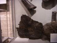 Placca di stegosauro