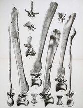 Spinosaurus vertebrae