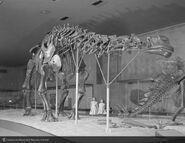 Amnhbrontosaurus1959