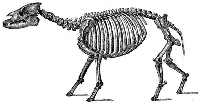 File:Palaeotheriumskeleton.jpg