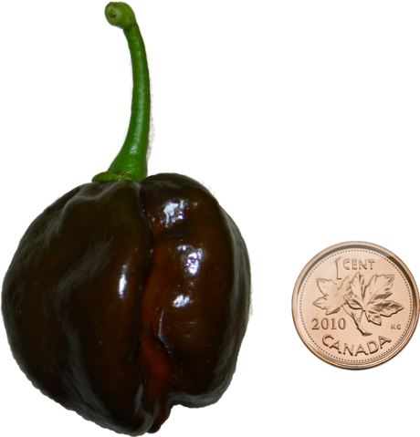 File:Chocolate habanero with penny.png