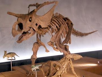 File:Albertaceratops Skeleton.jpg