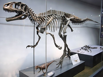 File:Fukuiraptor skeleton.jpg