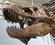 UCMP Trex skull lower left