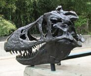 T-Rex skull at National Zoo