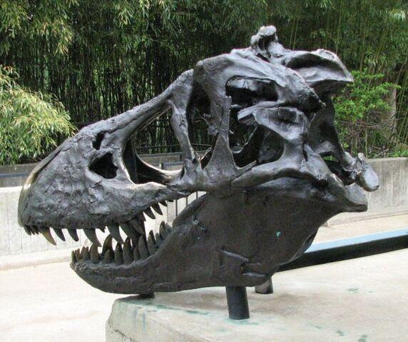 File:T-Rex skull at National Zoo.jpg