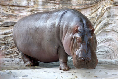 Hippopotamus - 04