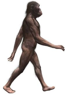 AustralopithecusInfobox.jpg
