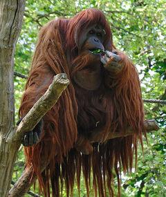 800px-Orangutan -Zoologischer Garten Berlin-8a.jpg