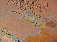 Hypsognathus real-sized