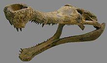 220px-Sarcosuchus skull