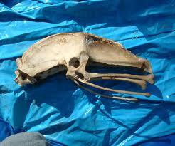 Lenesornis hip vertebrae