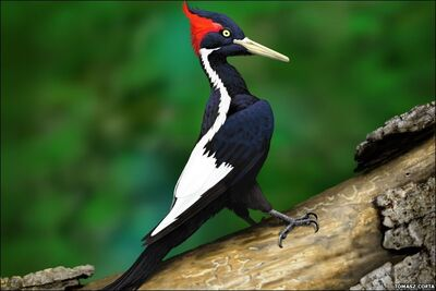 Ivory billed woodpecker2 tomasz cofta