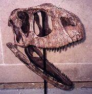 Tk rugops skull