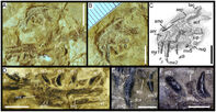 Torvosaurus embrious