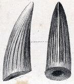 250px-Suchosaurus teeth