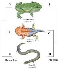 Batrachia