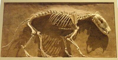 800px-Hyaenodon horridus, Niobrara County, Wyoming, USA, Late Oligocene - Royal Ontario Museum - DSC00114