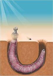 Archaeopriapulida