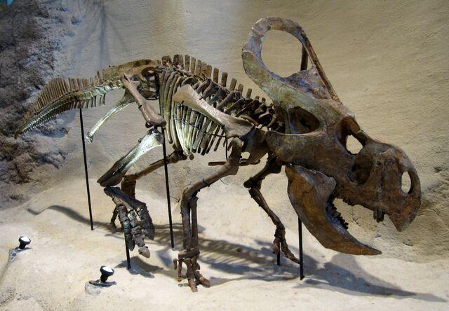 File:Carnegie Protoceratops andrewsi.jpg
