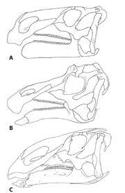 Hadrosaur-skulls
