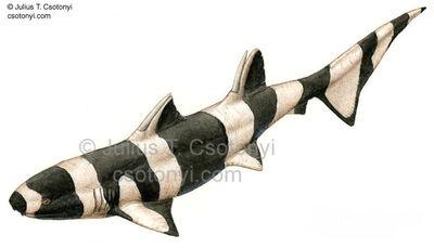 Ctenacanthus