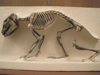 Archaeohyrax