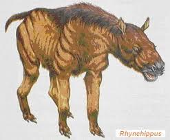 Rhynchippus