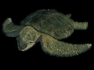 Proto turtle
