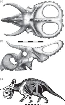 Nasutoceratops skull and skeleton