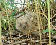 File:220px-Hedgehog-en.jpg