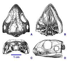 File:Acleistorhinus.jpg
