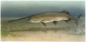 Paleopsephurus