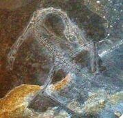 Macrocnemus jpg