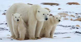 File:Polar bera.jpg