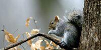 Squirrel Sauce Piquante