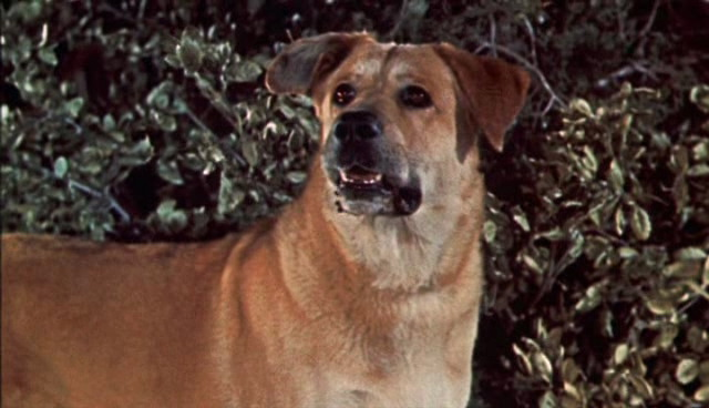 File:Old-yeller-disneyscreencaps.com-101.jpg