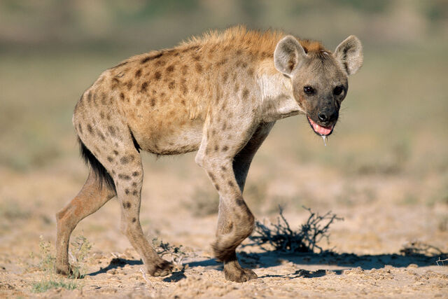File:Spotted Hyena.jpg