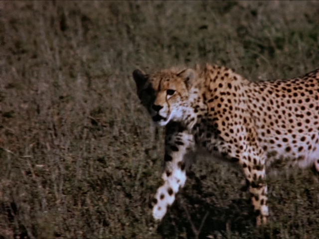 File:37. Cheetah.PNG
