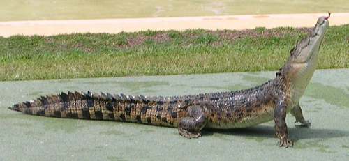 File:Salt water crocodile - Australia Zoo.jpg